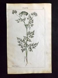 Yonge 1863 Hand Col Botanical Print. Fool's Parsley. Poisonous
